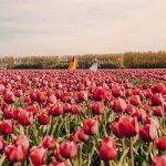 Поле тюльпанов пресет